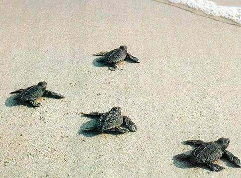 Hatchling Release of Turtles